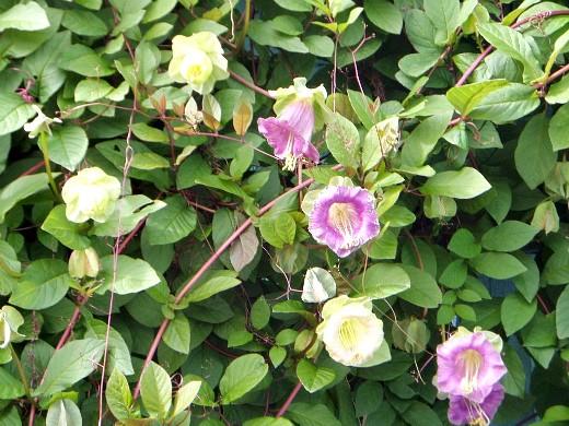 осенние цветы в саду, названия и фото - кобея