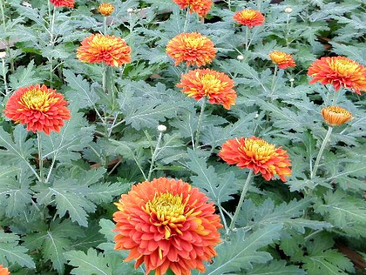 осенние цветы в саду, названия и фото - хризантемы