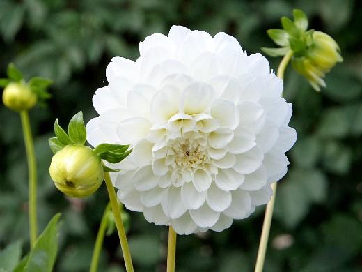 осенние цветы в саду, названия и фото - георгин