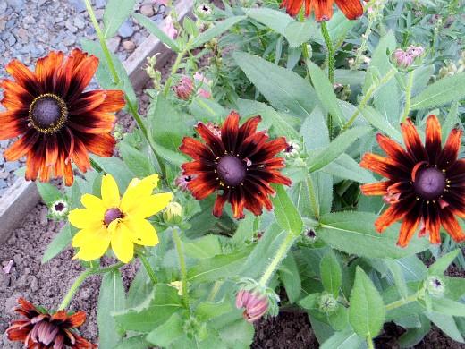 осенние цветы в саду, названия и фото - рудбекии
