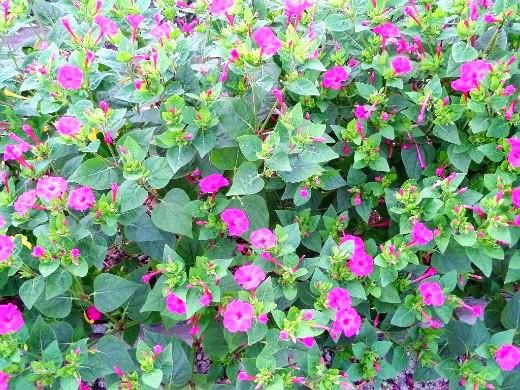 осенние цветы в саду, названия и фото - мирабилис