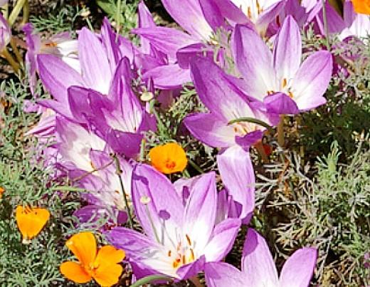 осенние цветы в саду, названия и фото - безвременник