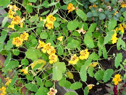 осенние цветы в саду, названия и фото - настурция