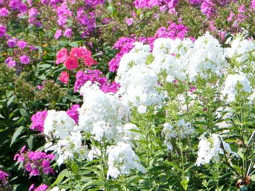 осенние цветы в саду, названия и фото - флоксы многолетние