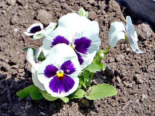 осенние цветы в саду, названия и фото - виола