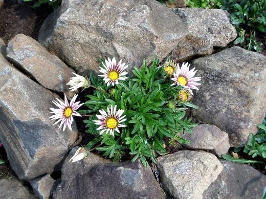 осенние цветы в саду, названия и фото - гацания (газзания) на альпийской горке