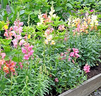 осенние цветы в саду, названия и фото - львиный зев