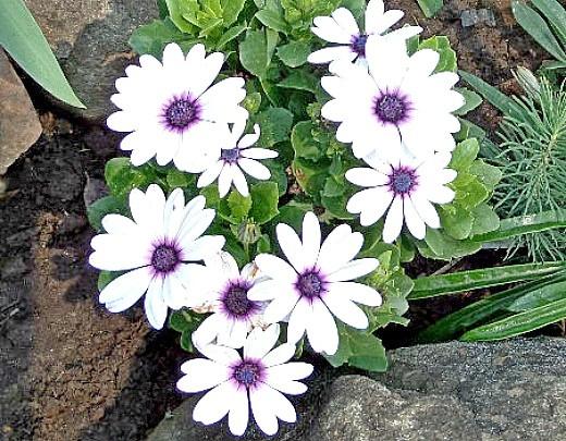 осенние цветы в саду, названия и фото - остеоспермум на альпийской горке