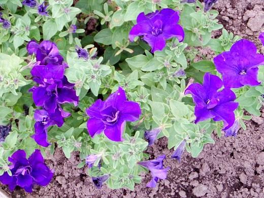 осенние цветы в саду, названия и фото - петуния на дачной клумбе
