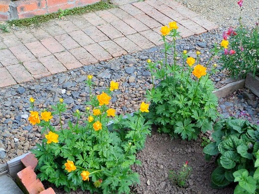 осенние цветы в саду, названия и фото - купальница (жарки)