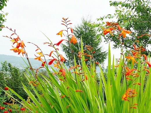 осенние цветы в саду, названия и фото - крокосмия
