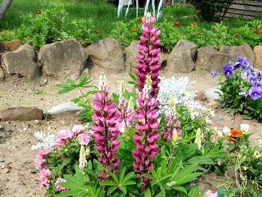 осенние цветы в саду, названия и фото - люпин