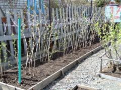 Уход за малиной весной: советы и рекомендации. Уход за малиной весной для хорошего урожая: обрезка, обработка, подкормка