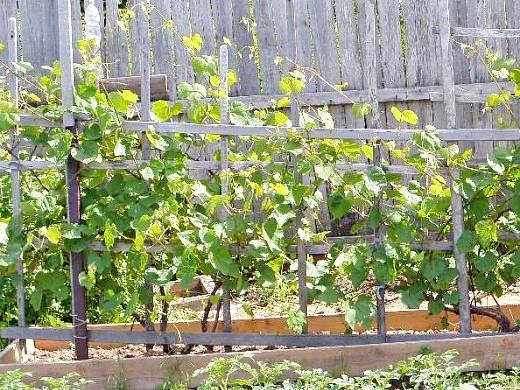 выращивание винограда из черенков 1-1