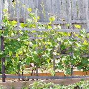 выращивание винограда из черенков 1-2