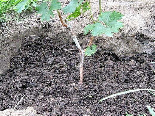выращивание винограда из черенков 1-5