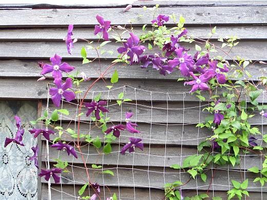 вьющиеся растения для забора и сада 1-1