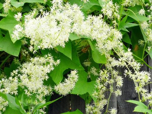 вьющиеся растения для забора и сада 1-10