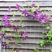вьющиеся растения для забора и сада 1-2