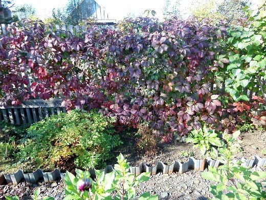 вьющиеся растения для забора и сада 1-3