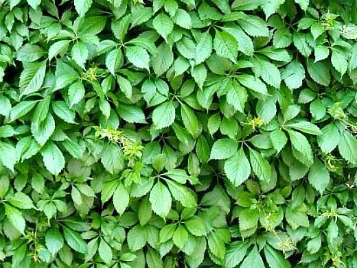 вьющиеся растения для забора и сада 1-4