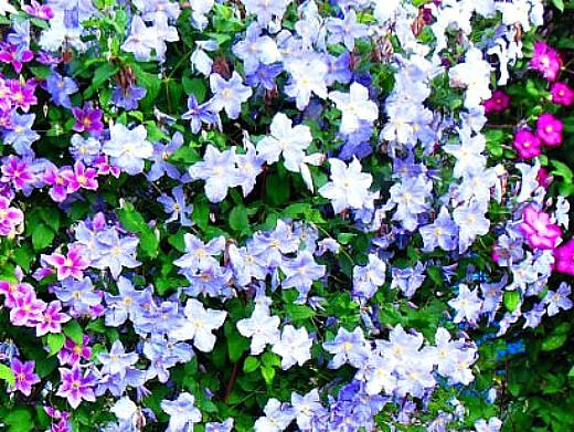 вьющиеся растения для забора и сада 1-5