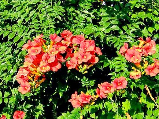 вьющиеся растения для забора и сада 1-6