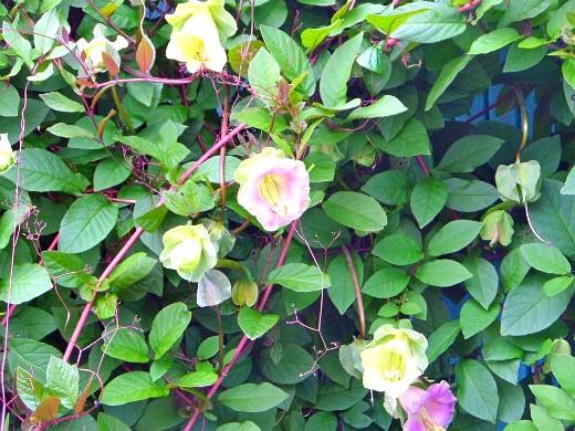 вьющиеся растения для забора и сада 1-7