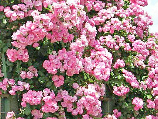 вьющиеся растения для забора и сада 1-8