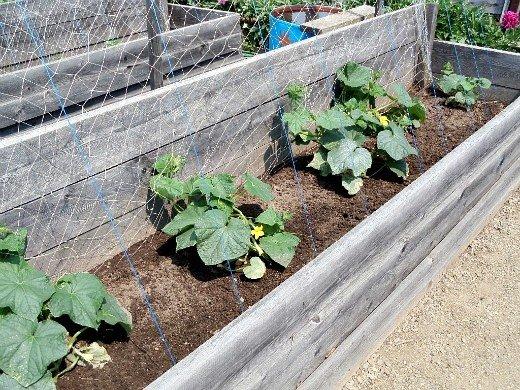 как повысить урожайность огурцов в открытом грунте, парнике