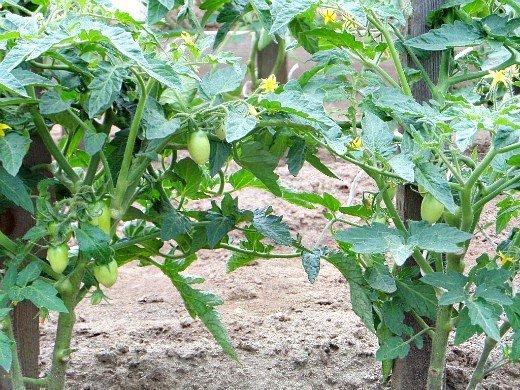 почему на томатах в открытом грунте опадают цветки