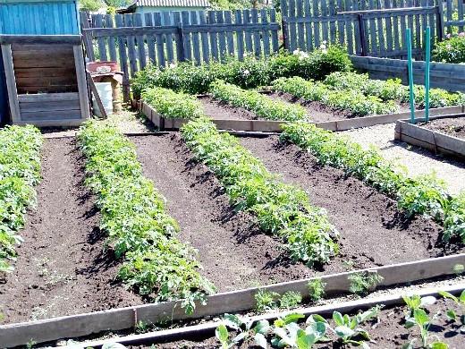 удобрения для посадки и выращивания картофеля - гряды по миттлайдеру