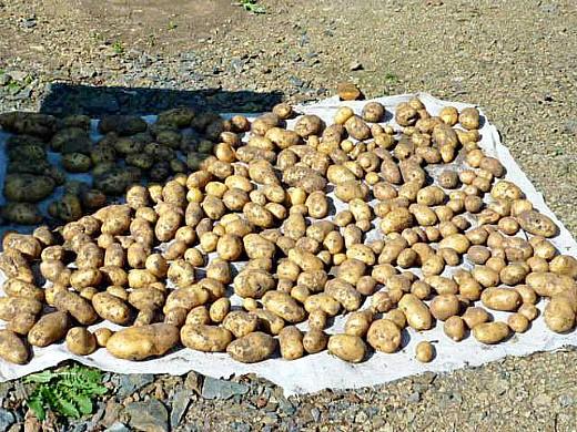 удобрения для посадки и выращивания картофеля - урожай с 1-й грядки