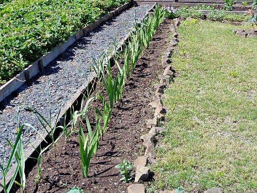 что посадить на огороде список - чеснок - слева, гладиолусы - справа