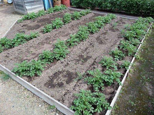 что посадить на огороде список - картофель
