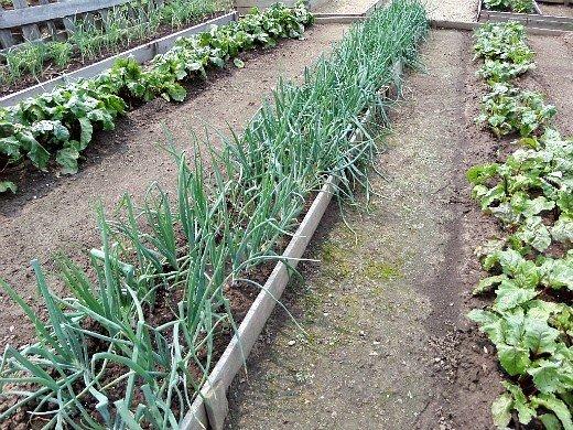 что посадить на огороде список - прямо лук, слева и справа - свекла