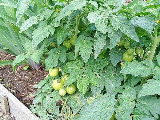 что посадить на огороде список - помидоры и ирисы (слева)