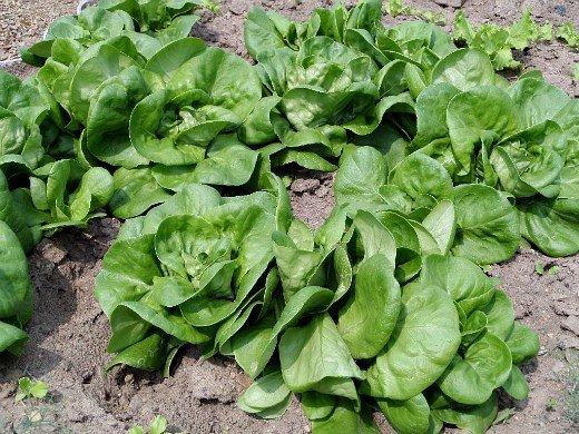 что посадить на огороде список - салат