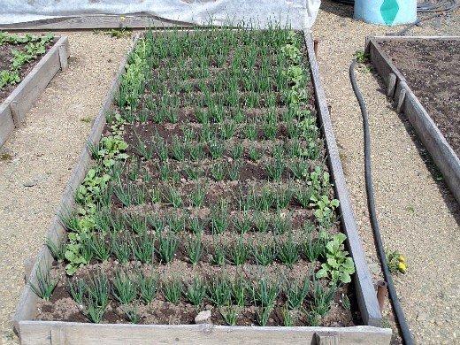что посадить на огороде список - смешанные посадки лука и редиса