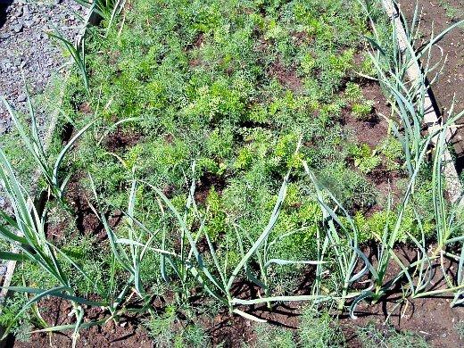 что посадить на огороде список - смешанные посевы моркови и чеснока