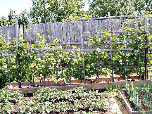 что посадить на огороде список - виноград