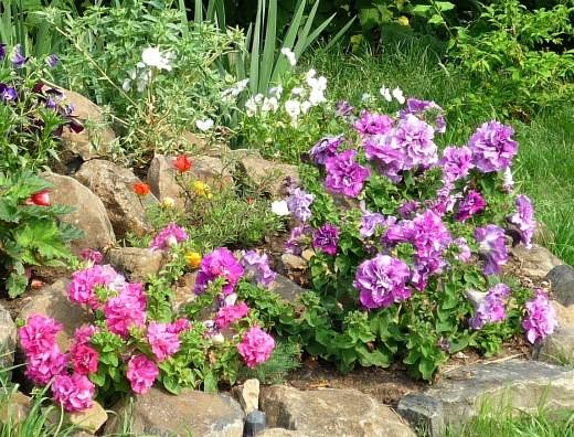 удобрения для петуний при выращивании 6