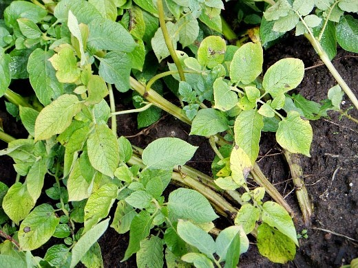 почему желтеет, сохнет и вянет картофельная ботва - недостаток азота