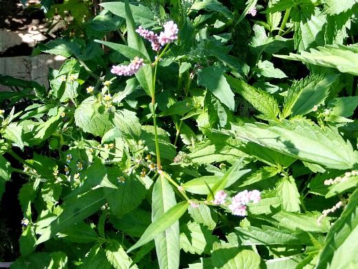 сорняки в огороде, методы и способы борьбы цветущий горец перечный
