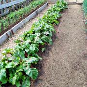 сорняки в огороде, методы и способы борьбы грядка со свеклой 1