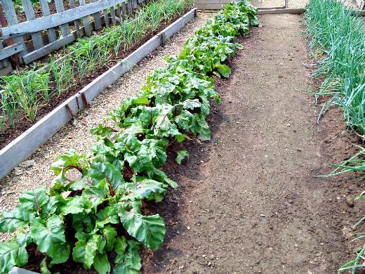 сорняки в огороде, методы и способы борьбы грядка со свеклой