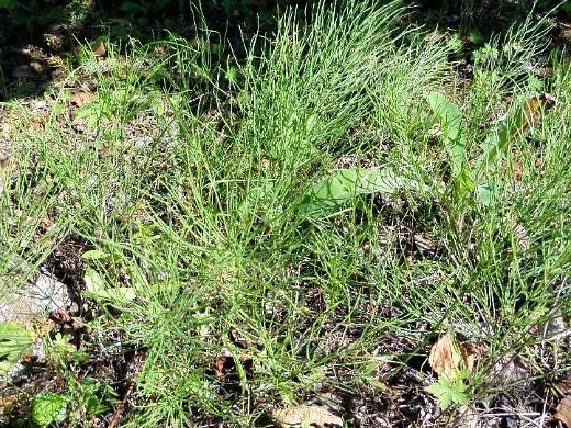 сорняки в огороде, методы и способы борьбы хвощ