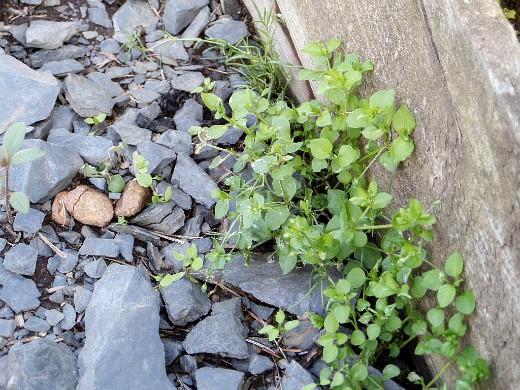 сорняки в огороде, методы и способы борьбы мокрец