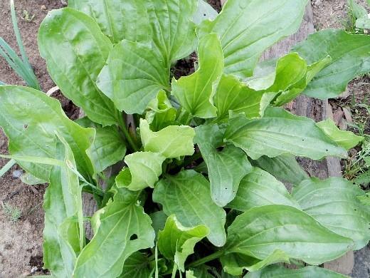 сорняки в огороде, методы и способы борьбы подорожник