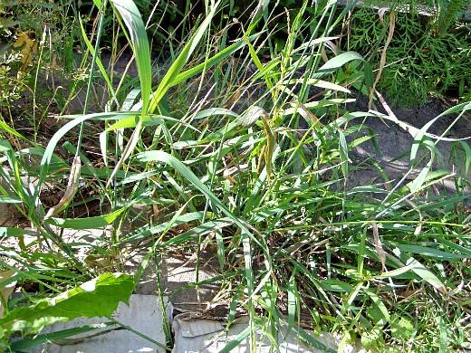 сорняки в огороде, методы и способы борьбы пырей